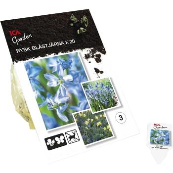 Rysk blåstjärna 20-p ICA Garden