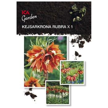 Kejsarkrona Rubra x1 ICA Garden