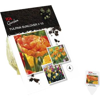 Tulipan Sunlover x10 ICA Garden