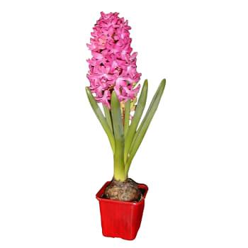 Hyacint rosa
