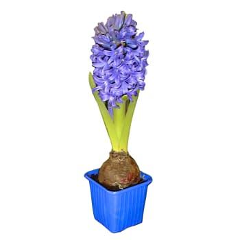 Hyacint Blå 1-p