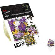 Krokus Largeflowerin Mix x20 ICA Garden