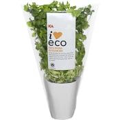Koriander i kruka Ekologisk 1-p KRAV Klass 1 ICA I love eco